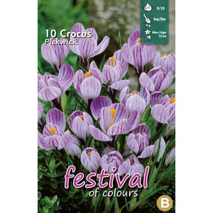 Crocus 'Pickwick'  10 pcs 9/10