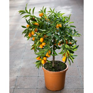 Citrus fortunella 'Margarita'  Pot 20 cm buisson 60/70 extra