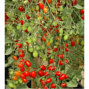 Schilliger Production  Tomate 'Cœur de pigeon'  Pot de 10.5 cm