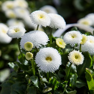 Schilliger Production  Bellis perennis  13 cm