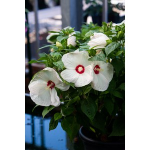Schilliger Production  Hibiscus moscheutos 'Luna White'  Pot de 24 cm