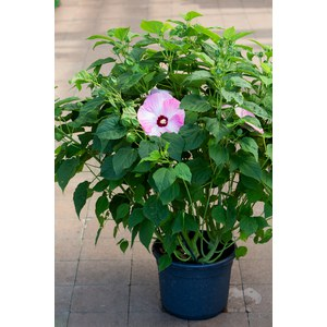 Schilliger Production  Hibiscus moscheutos 'Luna Pink Swirl'  Pot de 24 cm