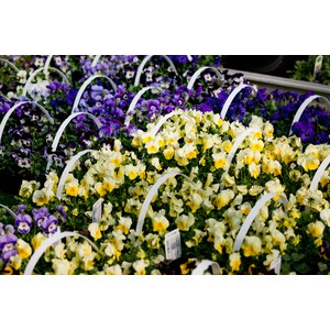 Schilliger Production  Viola cornuta - pack de 6  pack de 6 p9