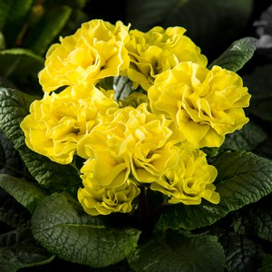 Schilliger Production  Primula romantique  Pot 10.5 cm