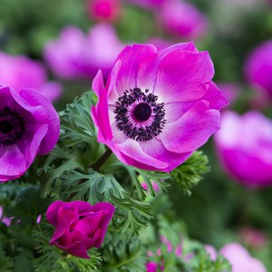 Schilliger Production  Anemone coronaria  14 cm