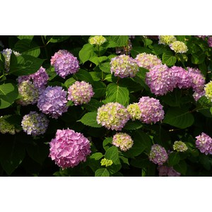 Schilliger Production  Hortensia  Pot de 23 cm