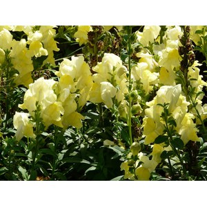 Schilliger Production  Antirrhinum majus  Pot de 17  cm