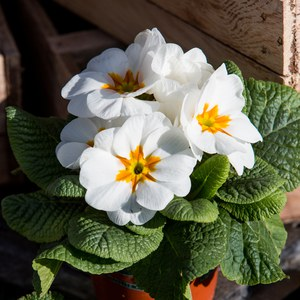 Schilliger Production  Primula vulgaris  Pot 10.5 cm