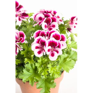 Schilliger Production  Pelargonium x grandiflorum 'Cand  Pot de 15 cm
