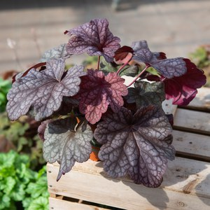 Schilliger Production  Heuchera 'Berry Smothie'  13 cm