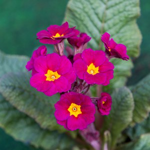 Schilliger Production  Primula elatior  Pot 10 cm