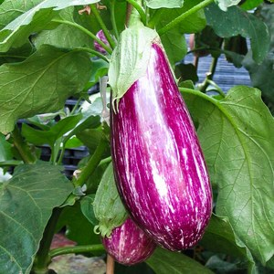 Schilliger Production  Aubergine greffée 'Striée'  Pot 12 cm