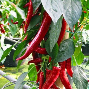 Schilliger Production  Piment greffé 'Cayenne'  Pot de 12 cm