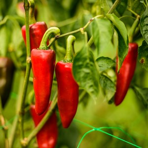 Schilliger Production  Piment greffé type 'Espelette'  Pot de 12 cm