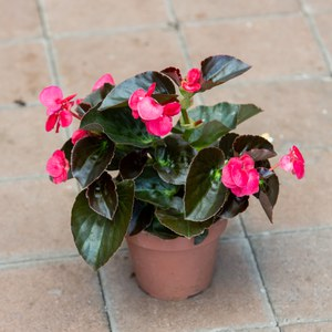 Schilliger Production  Begonia benariensis 'Big'  Pot de 14 cm