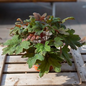 Heucherella 'Sweet Tea'  13 cm