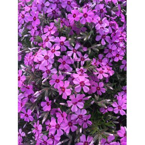 Schilliger Production  Phlox Cultivars  Pot 12 cm