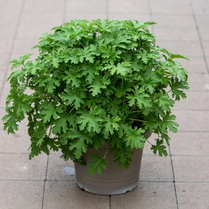Pelargonium de collection  22 cm