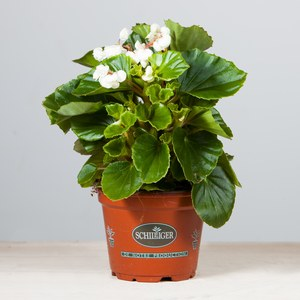 Schilliger Production  Begonia x semperflorens 'Doublet'  Pot de 12 cm