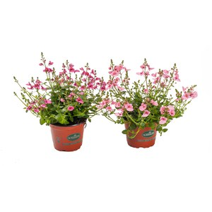 Schilliger Production  Diascia  Pot de 12 cm