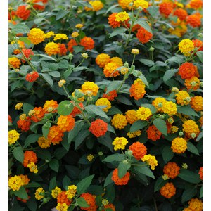 Schilliger Production  Lantana camara  Pot de 13 cm