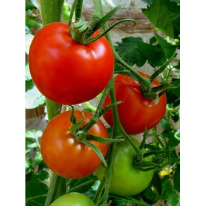 Production Suisse  Tomate 'Grappe'  Pot de 10.5 cm