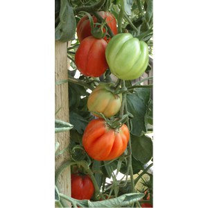 Production Suisse  Tomate 'Coeur de Boeuf'  Pot de 10.5 cm