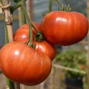Production Suisse  Tomate 'Aker's West'  Pot de 10.5 cm