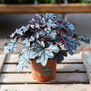 Schilliger Production  Heuchera 'Silver Duke'  13 cm