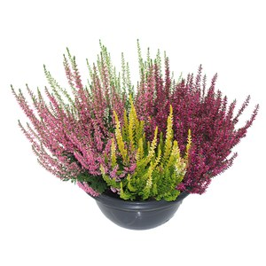 Calluna vulgaris 'Beauty Ladies'  Coupe de 23 cm