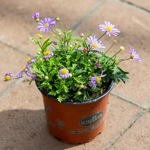 Schilliger Production  Brachyscome multifida  Pot de 12 cm