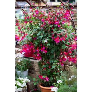 Schilliger Production  Fuchsia  Pot de 26 cm,  palissé