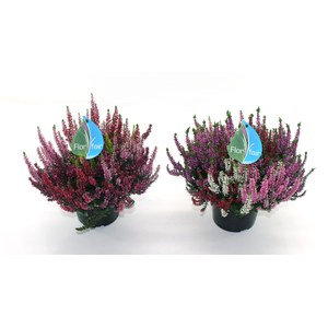 Calluna vulgaris 'Garden Girls' Quadro  P19