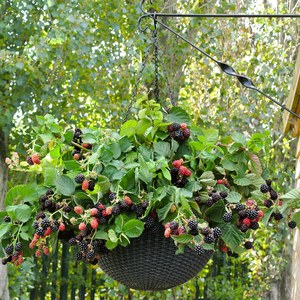 Rubus 'Black Cascade'  Suspension 23 cm