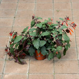 Schilliger Production  Fuchsia fulgens  Pot de 13 cm