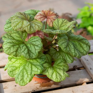 Schilliger Production  Heuchera 'Champagne'  13 cm