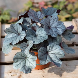 Schilliger Production  Heuchera 'Silver Gundrop'  13 cm