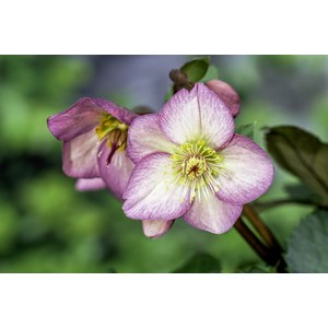 Production Suisse  Helleborus hydride 'Pink Frost'  Pot 15 cm