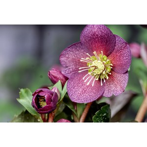 Production Suisse  Helleborus hydride 'Pink Frost'  Pot 17 cm