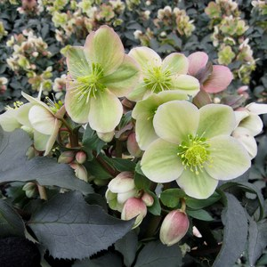 Helleborus 'Snow Dance'  Pot 17 cm