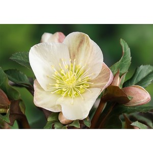 Production Suisse  Helleborus 'Camelot'  Pot 19 cm