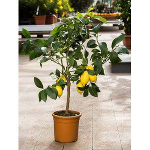 Citrus limon  Pot 20/22 cm buisson 60/70 extra