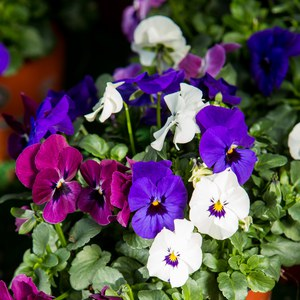Schilliger Production  Viola cornuta 'Trio'  Pot 13 cm