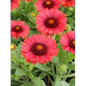 Schilliger Production  Gaillardia grandiflora 'Oranges and Lemons'  Pot de 24 cm