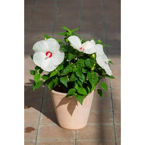 Schilliger Production  Hibiscus moscheutos 'Luna White'  Pot de 17 cm
