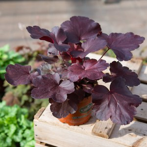 Schilliger Production  Heuchera 'Royal Ruby'  Pot de 13 cm