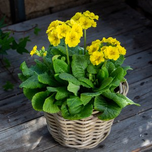 Schilliger Production  Primula veris 'Solaris Late Yellow'  Pot 15 cm