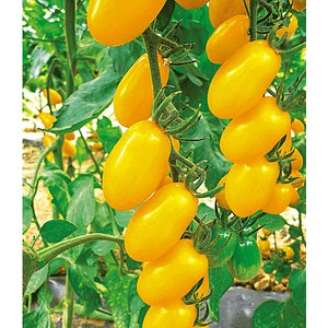 Schilliger Production  Tomate 'Dolly jaune'  Pot de 10.5 cm