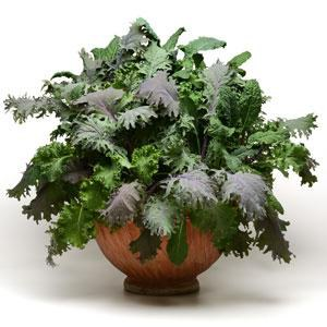 Schilliger Production  Chou mélange 'Kale Storm Mix'  Coupe 23 cm