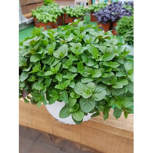 Schilliger Production  Aromatique Trio Mix Cool Mint  Pot 19 cm